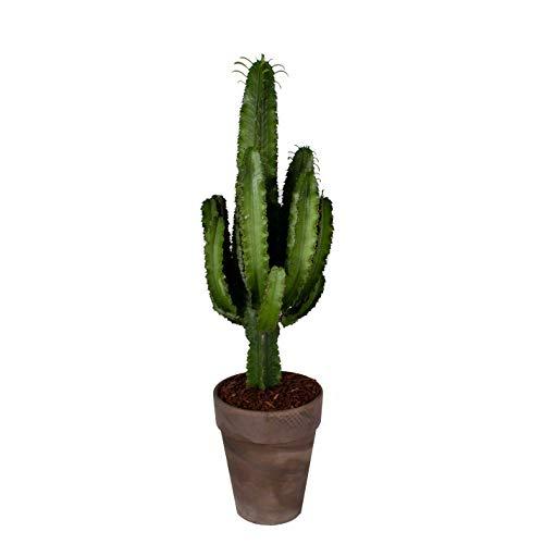 Cactus et plante grasse de Botanicly – Cactus Euphorbia en pot terre cuite marron comme un ensemble – Hauteur: 90 cm – Euphorbia Eritrea